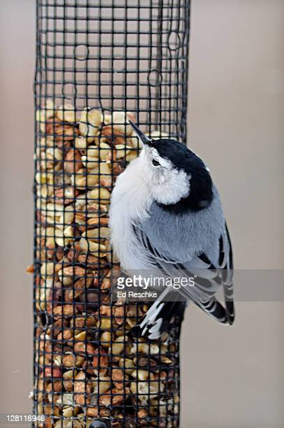 white-breasted nuthatch, sitta carolinensis, on a peanut feeder. frequently seen around bird feeders and likes suet, peanuts and a variety of seeds. michigan. usa - ed reschke photography stock photos and pictures