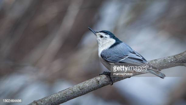 white-breasted site, (sitta carolinensis). white-breasted nuthatch. - national forest stock pictures, royalty-free photos & images