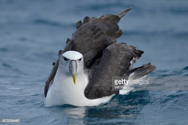Whitecapped Albatross on the sea