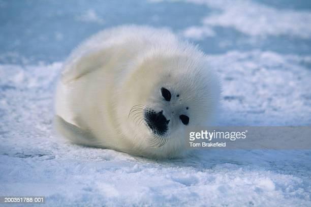 Whitecoat harp seal (Phoca groenlandica), Canada