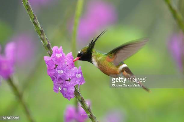 white-crested coquette - hovering stock photos and pictures