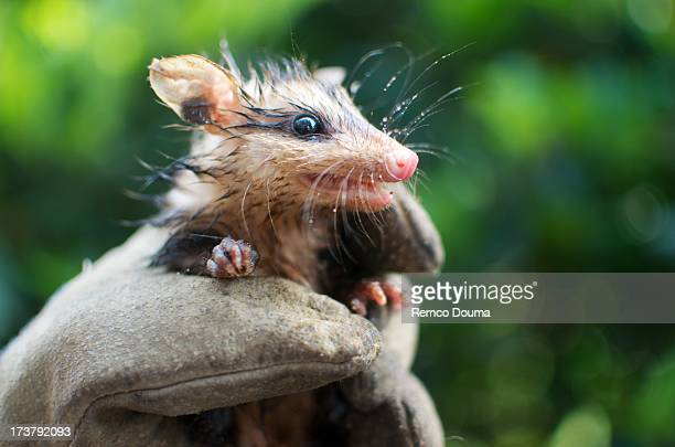 white-eared opossum joey - opossum stock pictures, royalty-free photos & images