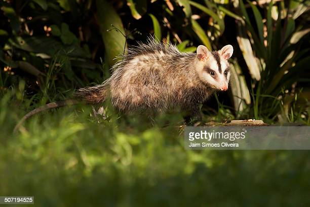 white-eared opossum - opossum stock pictures, royalty-free photos & images