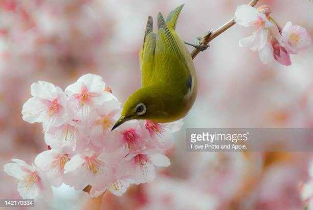 White-eye and Cherry blossoms
