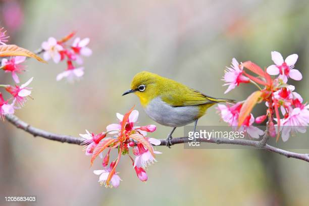 White-eye bird sits on a branch of a fully bloomed cherry blossom tree on December 29, 2019 in Guiyang, Guizhou Province of China.