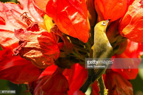 White-eye in an African tulip tree