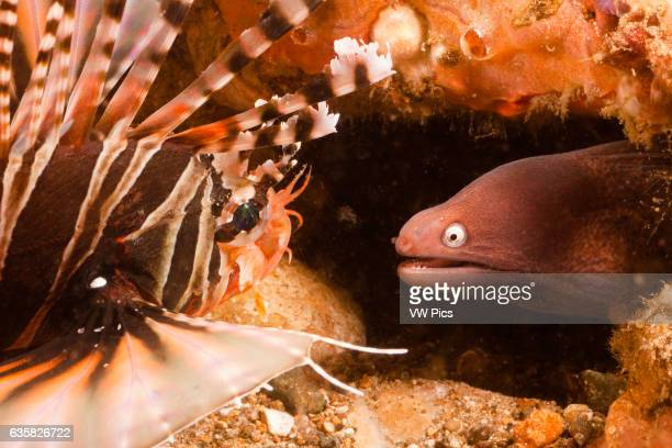 A whiteeyed moray Muraena thyrsoides gets a close look at a zebra lionfish Dendrochirus zebra in the Philippines