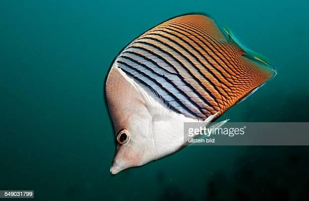 Whiteface butterflyfish Chaetodon mesoleucos Djibouti Djibuti Africa Afar Triangle Gulf of Aden Gulf of Tadjourah