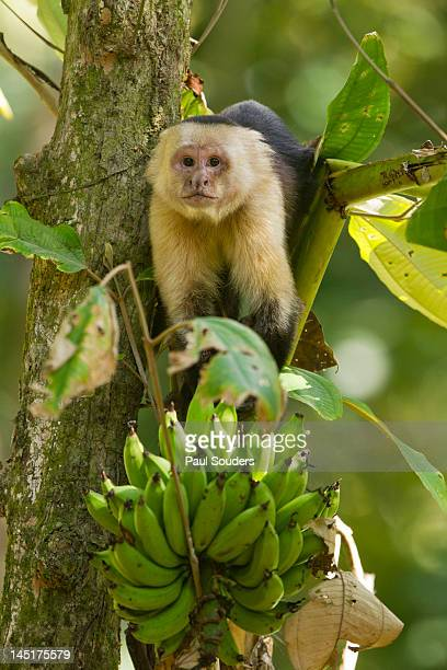 white-faced capuchin , costa rica - capuchin monkey stock pictures, royalty-free photos & images