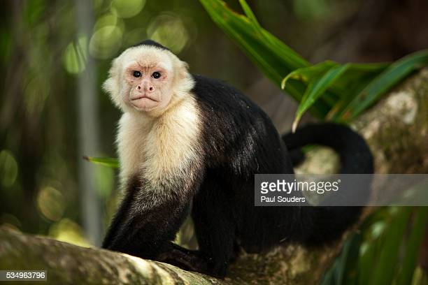 white-faced capuchin in a tree in manuel antonio national park - capuchin monkey stock pictures, royalty-free photos & images