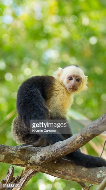 a white-faced capuchin monkey at the rain forest canopy - península de nicoya fotografías e imágenes de stock