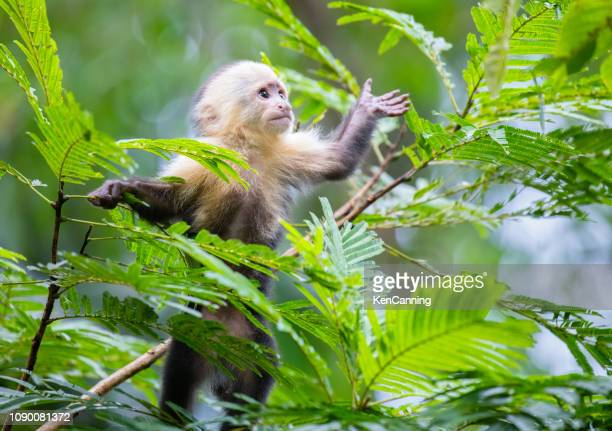 white-faced capuchin monkey baby in treetops  at tortuguero national park, costa rica - primate stock pictures, royalty-free photos & images