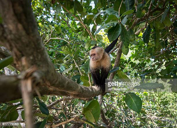 A white-faced capuchin monkey climbs on a tree branch.