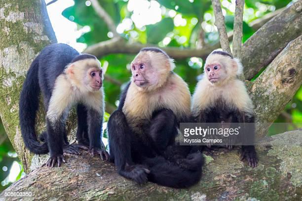 white-faced capuchin monkey family - mono capuchino fotografías e imágenes de stock