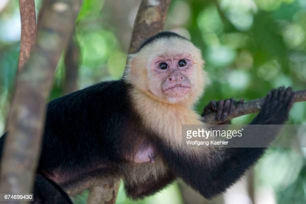 A whitefaced capuchin monkey in the rainforest of the Manuel Antonio National Park located at the Pacific coast of Costa Rica