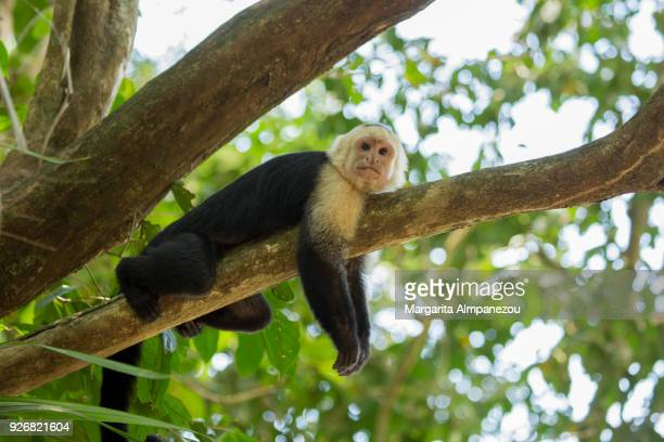 White-faced capuchin monkey of Costa Rica