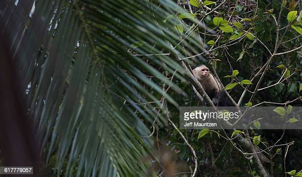 A white-faced capuchin monkey rests in a coconut tree.