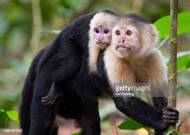 white-faced capuchin monkeys, mother and baby in tortuguero national park, costa rica - costa rica stock pictures, royalty-free photos & images