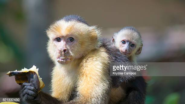 White-faced Capuchin (Cebus capucinus) mother with baby eating a banana