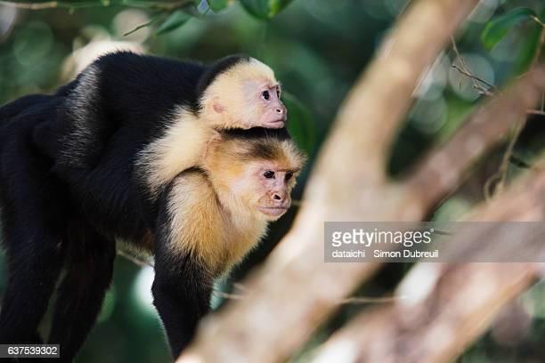 white-faced capuchin - mono capuchino fotografías e imágenes de stock