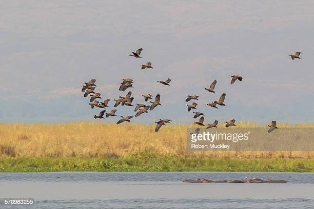 white-faced ducks - anatra uccello acquatico foto e immagini stock