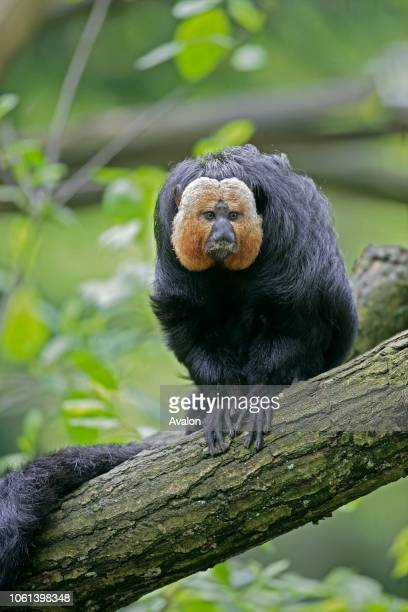 Whitefaced saki Male Brazil