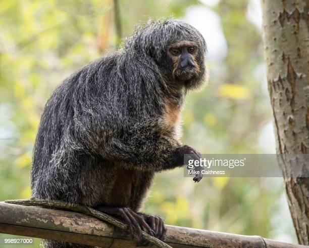 white-faced saki monkey - mike caithness stock pictures, royalty-free photos & images