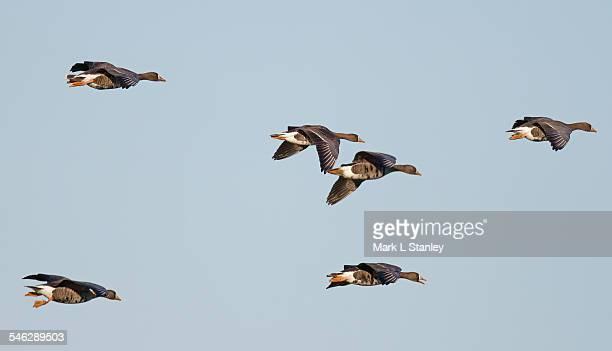 white-fronted goose - anser flavirostris - ウェックスフォード州 ストックフォトと画像