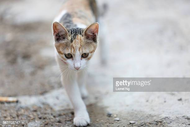white-gold stray kitten in china - white gold stock pictures, royalty-free photos & images