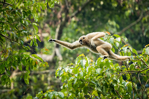 White-handed gibbon jumping in the forest 1067738722
