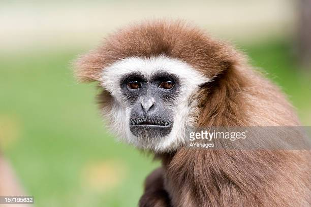 white-handed gibbon - animal head stock pictures, royalty-free photos & images
