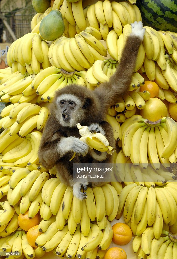 A white-handed gibbon plays on a mound of bananas, watched by South Korean children, at the Everland amusement and animal park in Yongin, south of Seoul, 12 April 2007. Everland, South Korea's largest amusement park, organized the event to mark the opening of an anthropoid theme park called 'Friendly Monkey Valley'.