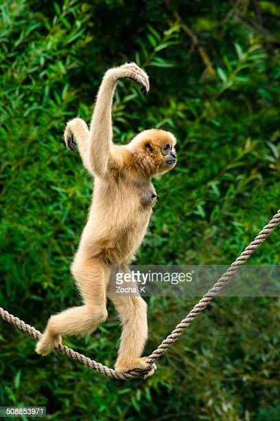 White-handed gibbon running over a streched in air rope