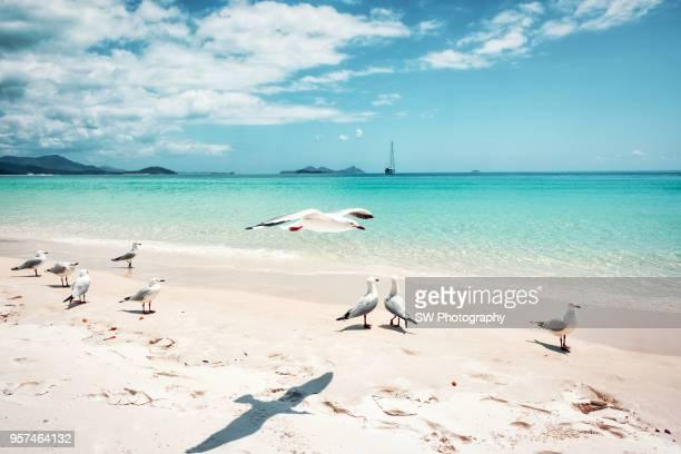 whitehaven beach in whitsunday island, australia - whitehaven beach stock photos and pictures