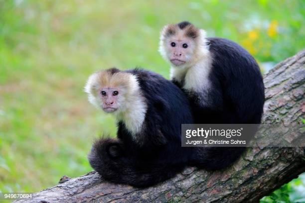 white-headed capuchin (cebus capucinus), adult pair sitting on branch, captive - mono capuchino fotografías e imágenes de stock
