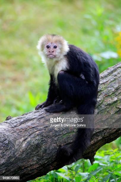 white-headed capuchin (cebus capucinus), adult, sits on branch, captive - mono capuchino fotografías e imágenes de stock