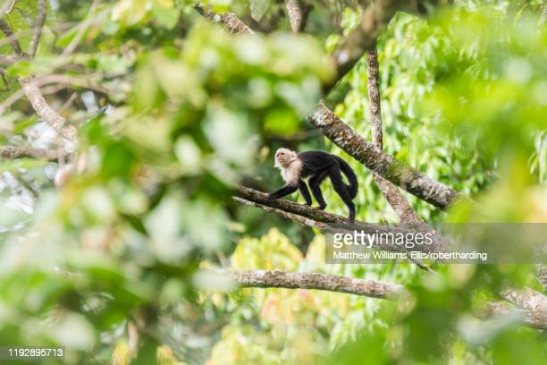 white-headed capuchin (cebus imitator), arenal volcano national park, near la fortuna, alajuela province, costa rica, central america - capuchin monkey stock pictures, royalty-free photos & images