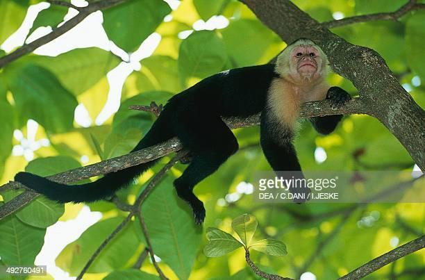Whiteheaded capuchin Cebidae
