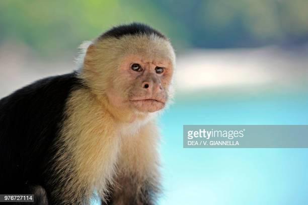 White-headed capuchin , Cebidae, Tropical rain forest, Costa Rica.
