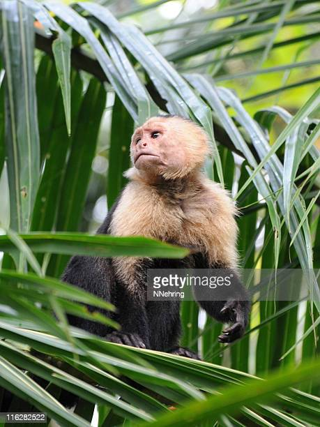 white-headed capuchin, cebus capucinus - capuchin monkey stock pictures, royalty-free photos & images