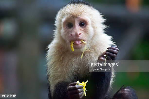 A white-headed Capuchin eating a fruit