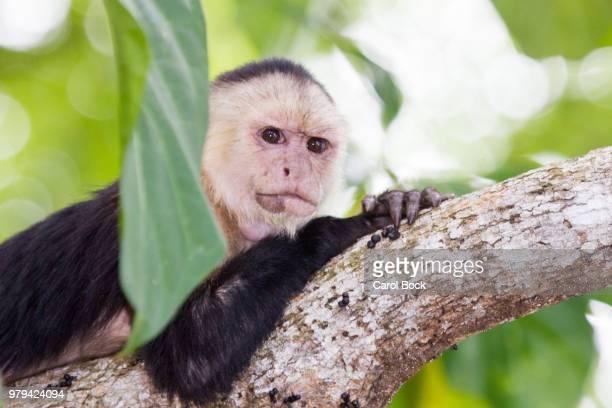 white-headed capuchin (cebus capucinus) lying down on tree in cahuita national park, cahuita, limon province, costa rica - mono capuchino fotografías e imágenes de stock