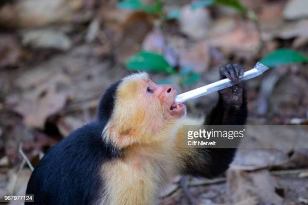 white-headed capuchin monkey and plastic straw - mono capuchino fotografías e imágenes de stock