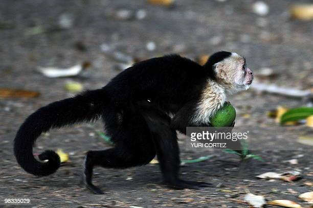 A Whiteheaded Capuchin monkey is seen holding a mango at the National Palo Verde Park on April 8 2010 in Guanacaste some 220 kilometers Northeast...