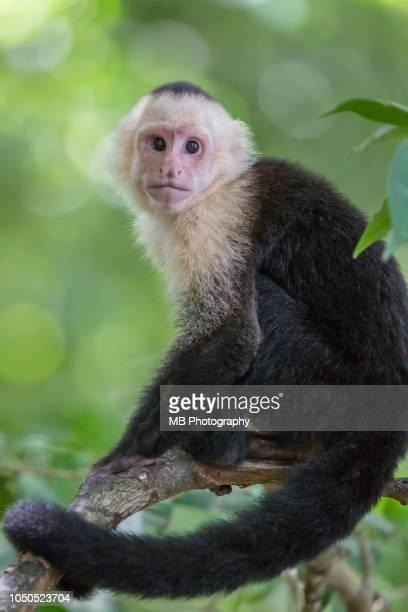 white-headed capuchin monkey - capuchin monkey stock pictures, royalty-free photos & images