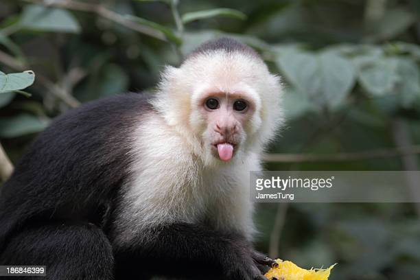 capuchino de cabeza blanca - mono capuchino fotografías e imágenes de stock