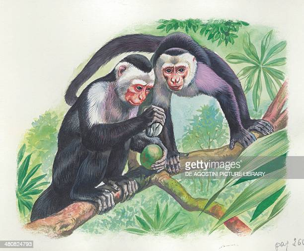Whiteheaded capuchins opening fruit with a stone illustration