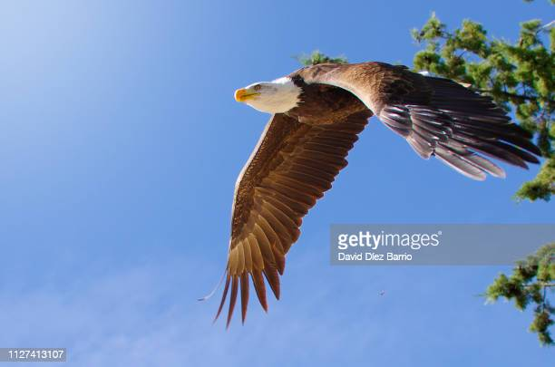 white-headed eagle flying - cielo stock pictures, royalty-free photos & images