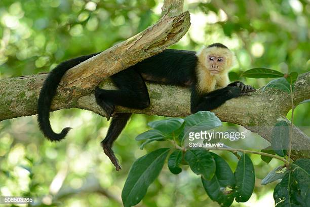 White-headed or White-faced Capuchin -Cebus capucinus-, resting on branch, Manuel Antonio National Park, Costa Rica, Central America