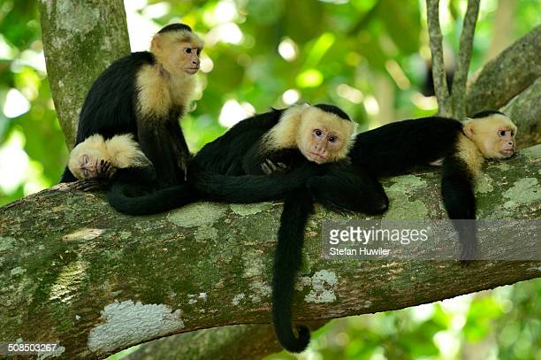 White-headed or White-faced Capuchins -Cebus capucinus-, resting on tree, Manuel Antonio National Park, Costa Rica, Central America